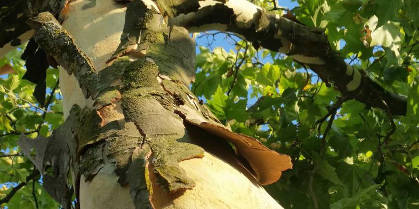 Bomen hebben het loodzwaar door de droogte