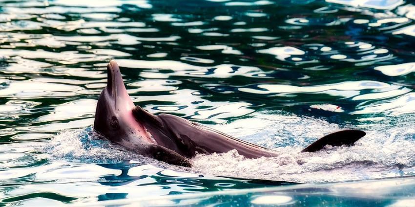 Partij voor de Dieren stelt vragen over bruinvissen in het Dolfinarium