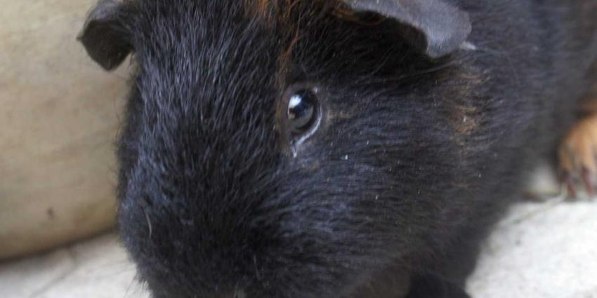 Medewerkers Dierenambulance vinden elf doodgevroren cavia's