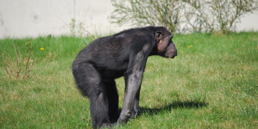Meest eenzame chimpansee Ponso heel gelukkig met bezoek