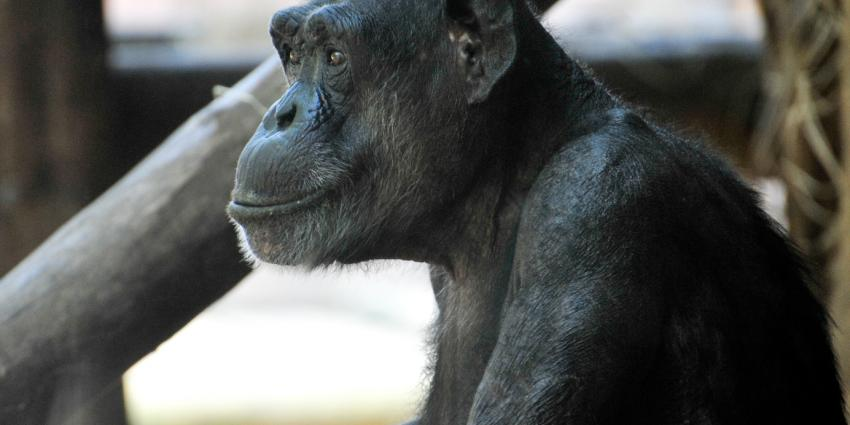 Chimpansee Kokkie overleden in DierenPark Amersfoort