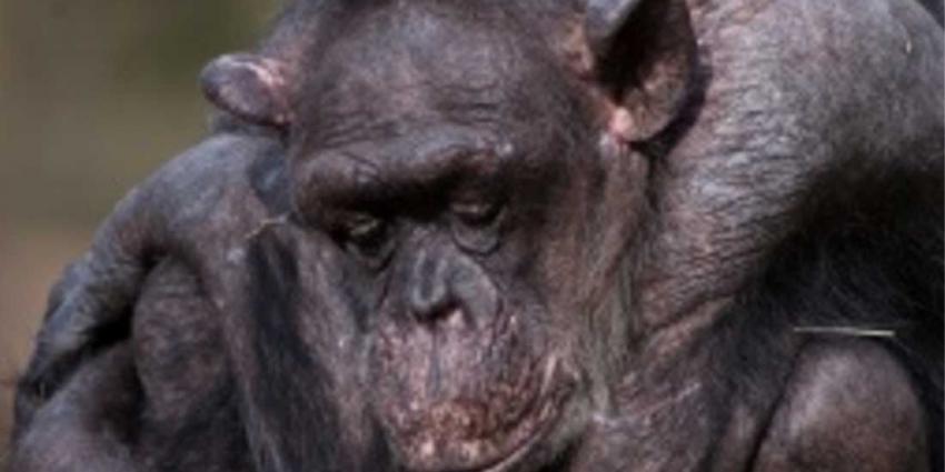 Oudste chimpansee (59) van Nederland overleden