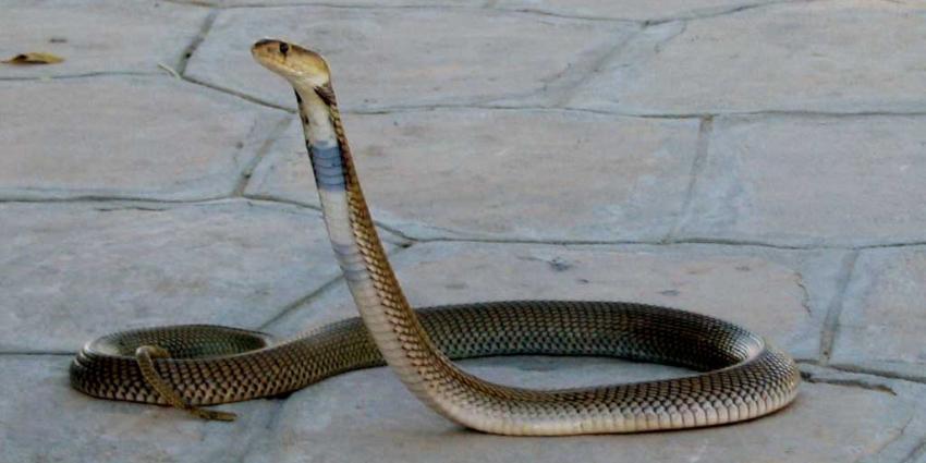 Gifitige Kaapse cobra is gevonden