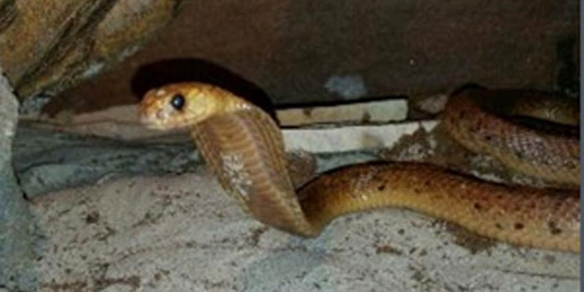 Gemeente Made waarschuwt inwoners voor ontsnapte giftige slang