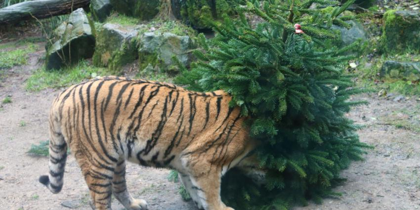 Tijger onderzoek kerstboom