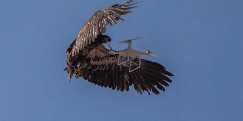Antidrone-roofvogels niet opgewassen tegen snelle ontwikkeling drones