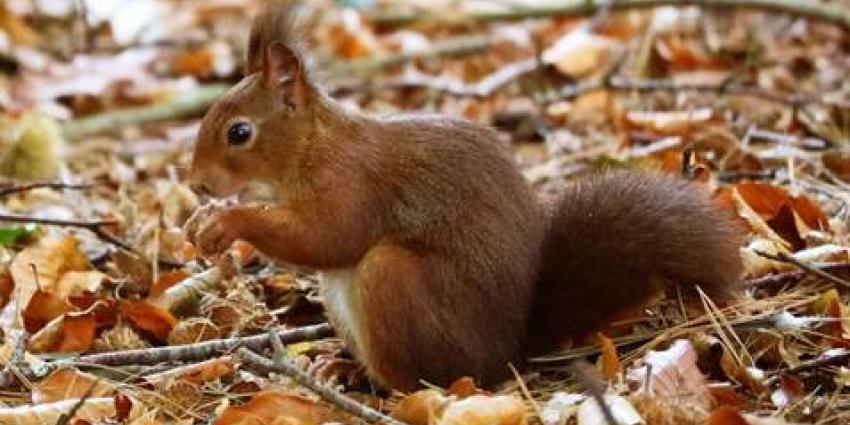 DierenPark Amersfoort krijgt bezoek van tientallen eekhoorns