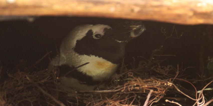 Eén van de mannetjes op het gekaapte nest