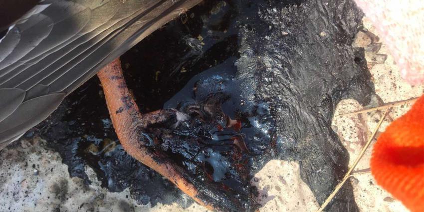Eend blijft met poot vastzitten in gesmolten hete asfalt