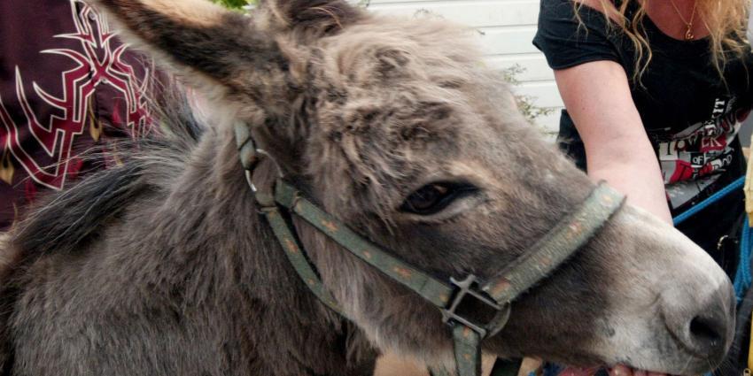 'Ezel' krijgt boete voor verwaarlozen ezel