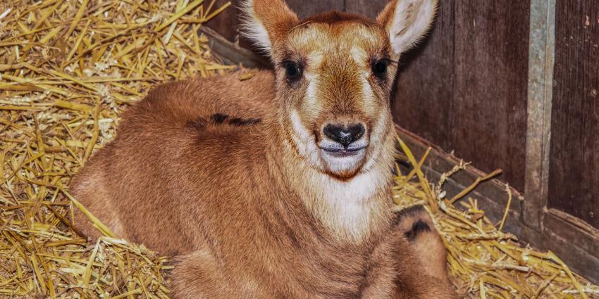 Paarden antilope