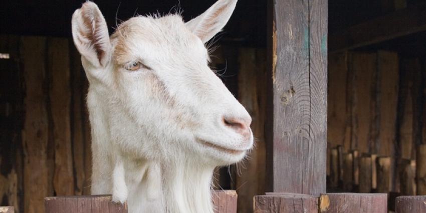 NVWA controleert dierenwelzijn op geitenbedrijven