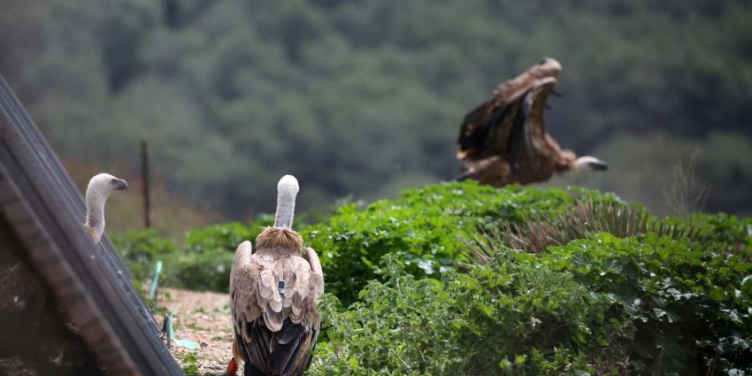 Vale gieren uit ARTIS worden vrije vogels