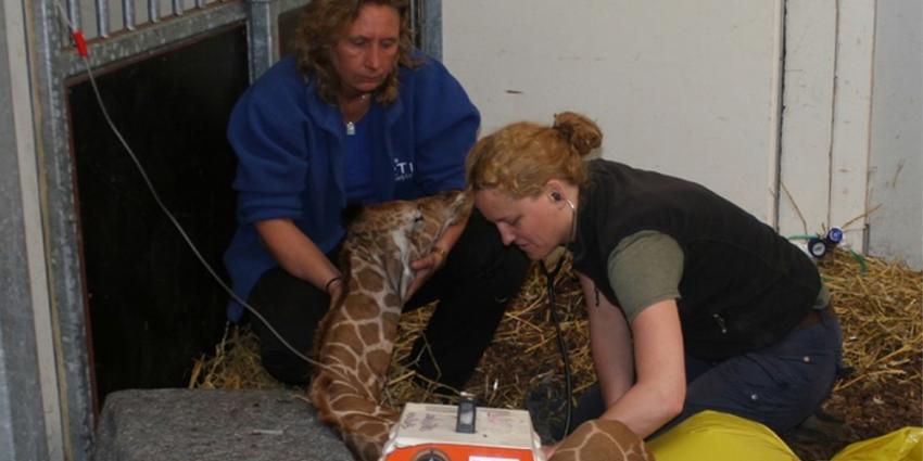Foto van het pasgeboren girafje in Artis   Artis