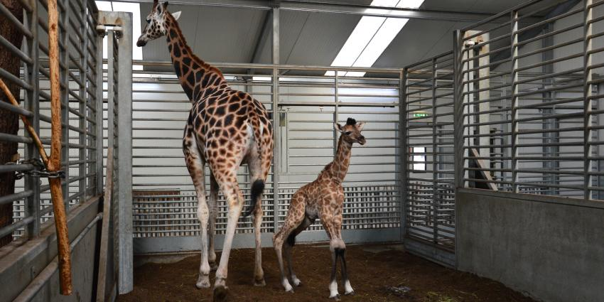Giraffe geboren in Beekse Bergen