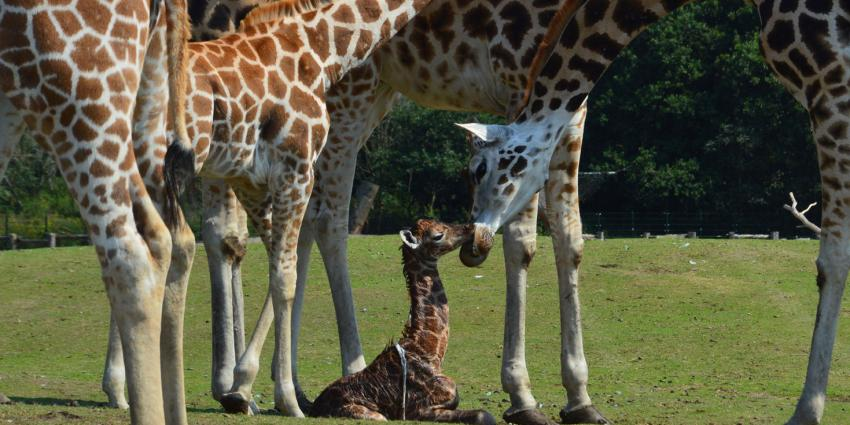 giraffenjong
