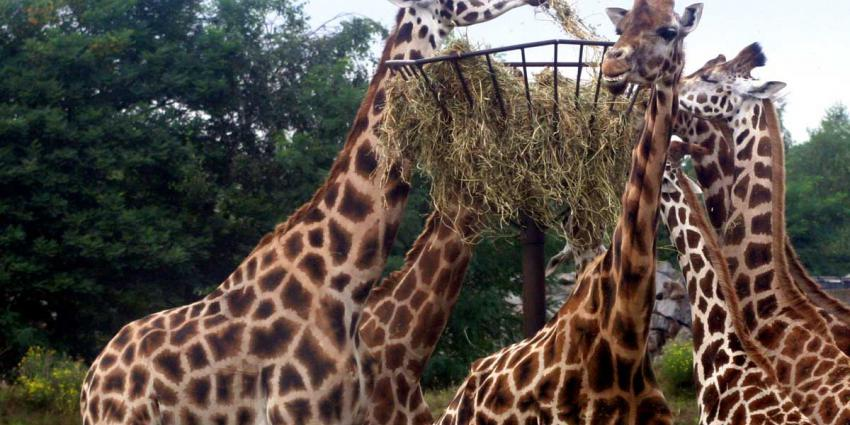 Girafje geboren in Diergaarde Blijdorp
