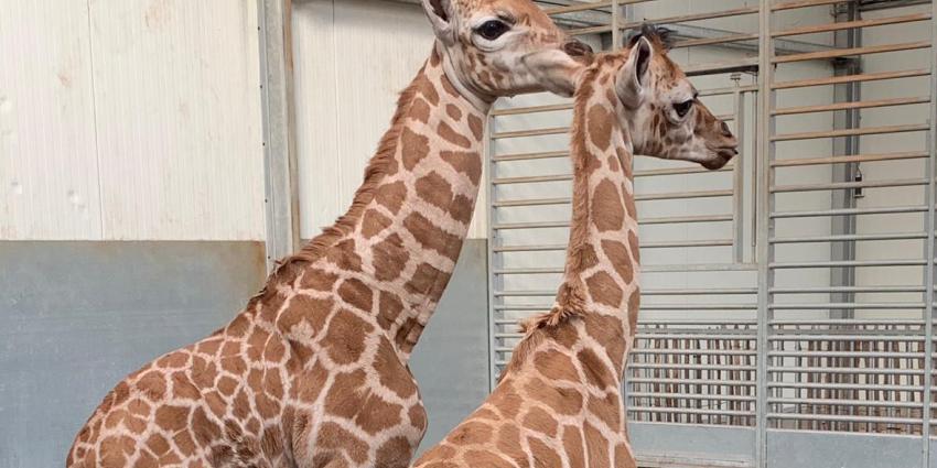 Giraffen Jacques en Max