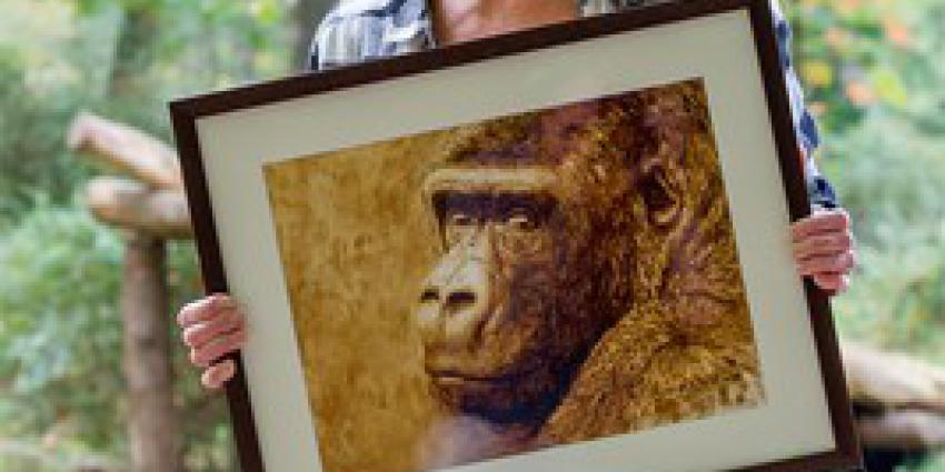 Apenheul neemt afscheid van grote publiekstrekker: gorilla Jamboverhuist naar andere dierentuin