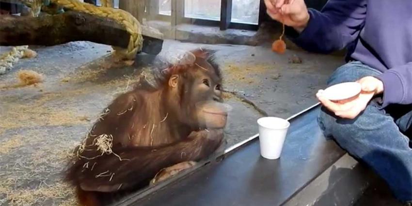 Amateurgoochelaar krijgt mooie reactie van orang-oetan
