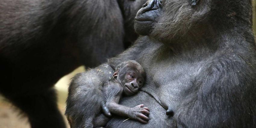 Gorillababy geboren in ARTIS