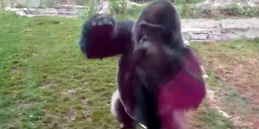 Zilverrug gorilla Bokito viert 20-ste verjaardag