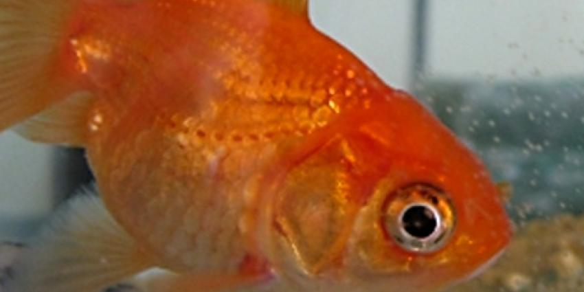 'Smartphone leidt tot minder concentratie dan een goudvis'