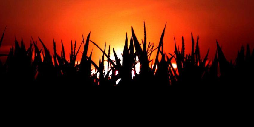Drugsverdachte holt snelweg over en verstopt zich in maïsveld