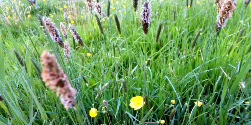 gras-zaden-hooikoorts-pollen