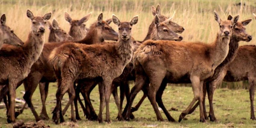 Staatsbosbeheer wil 1.830 edelherten in Oostvaardersplassen afschieten