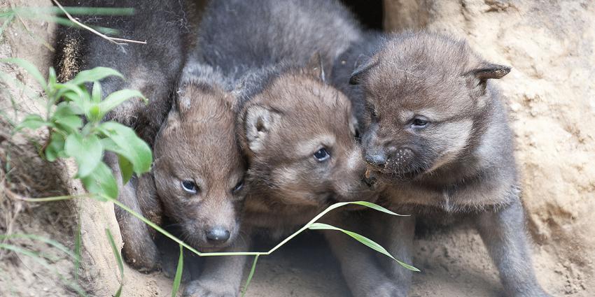 Wolvenwelpjes geboren
