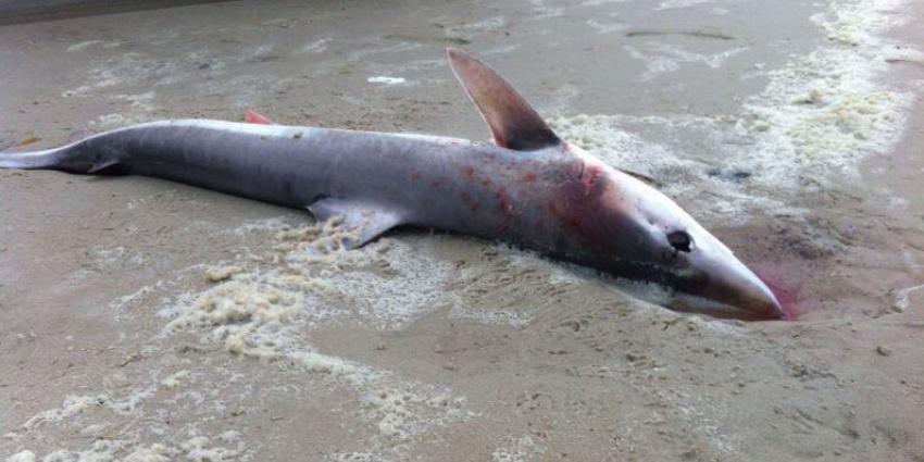 foto van haai | Joeri Lamers | strandpaviljoenterschelling.nl