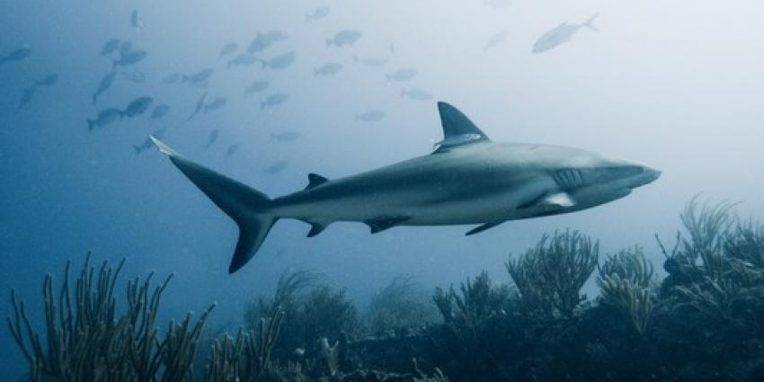 Helft Nederlanders zwemt wel eens met haaien zonder dat ze dit weten