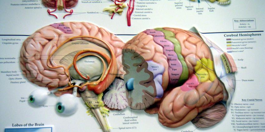 Hemodialyse kan doorbloeding hersenen verminderen