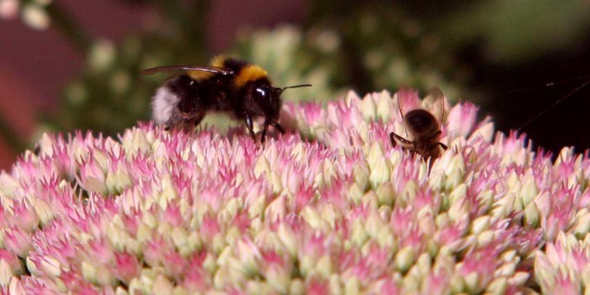 Afname aantal insecten in Nederland is 'dramatisch'