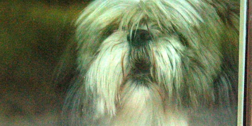 Fokken voor beter welzijn bij kortsnuitige hondenrassen