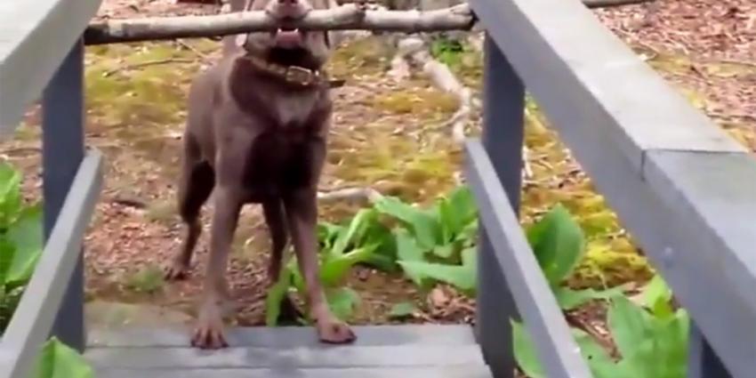 Slimme hond komt met grote tak toch over de brug