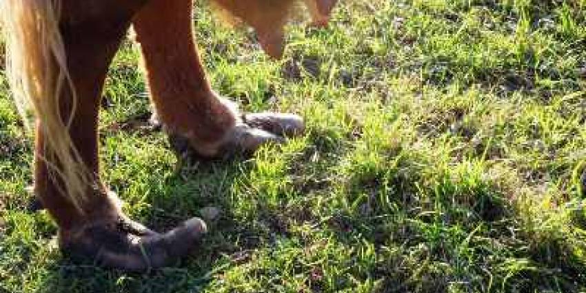 Foto van klauwen koe die nauwerlijks kan lopen | Politie