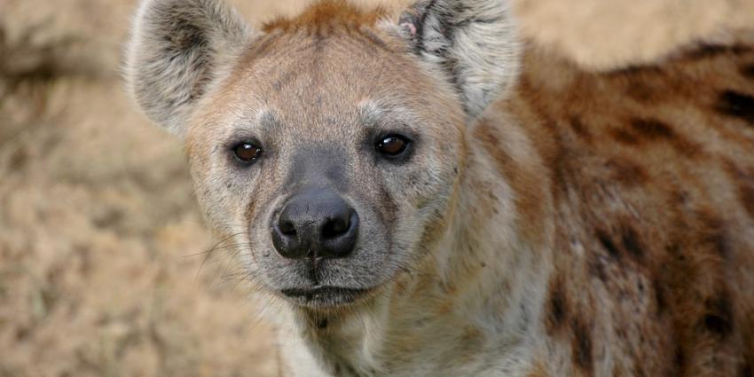 Hyena zwaar gewond door aanval soortgenoten