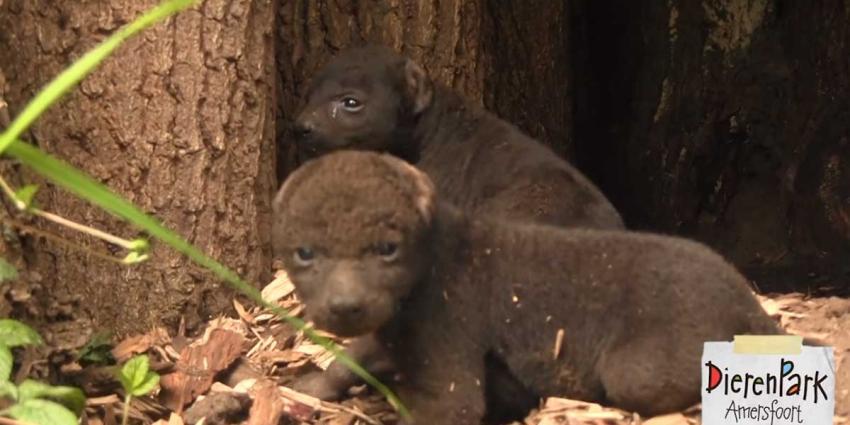 Hyena-tweeling voor DierenPark Amersfoort