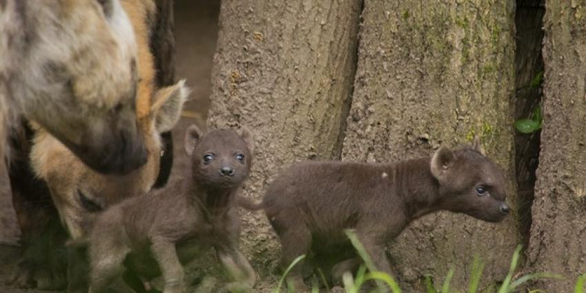 Hyena-tweeling zet eerste stapjes buiten in DierenPark Amersfoort