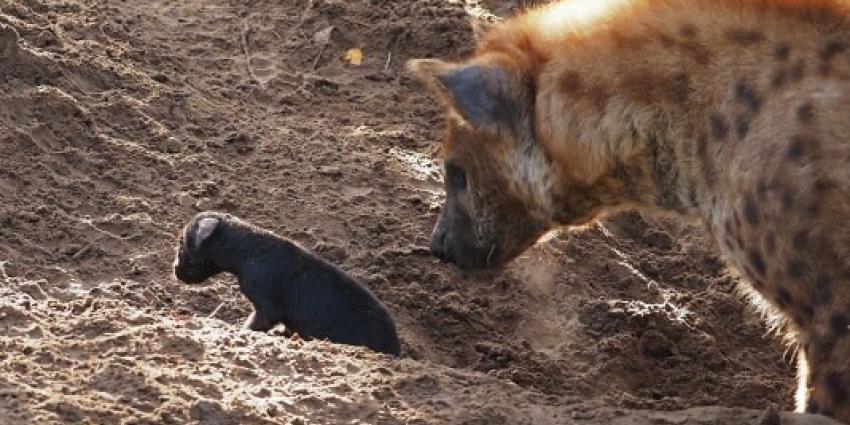 bijzondere geboorte, hyena-pub, beekse bergen