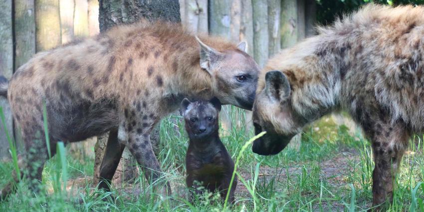 Hyenapup zet eerste stapjes buiten in DierenPark Amersfoort