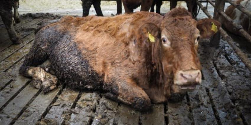 Onderzoek onthult misstanden bij Iers rundvee