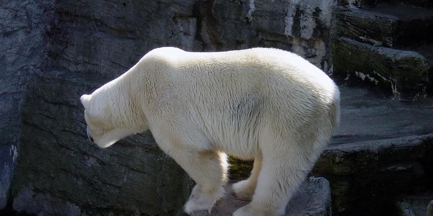 IJsberen gooien plannen poolexpeditie overhoop