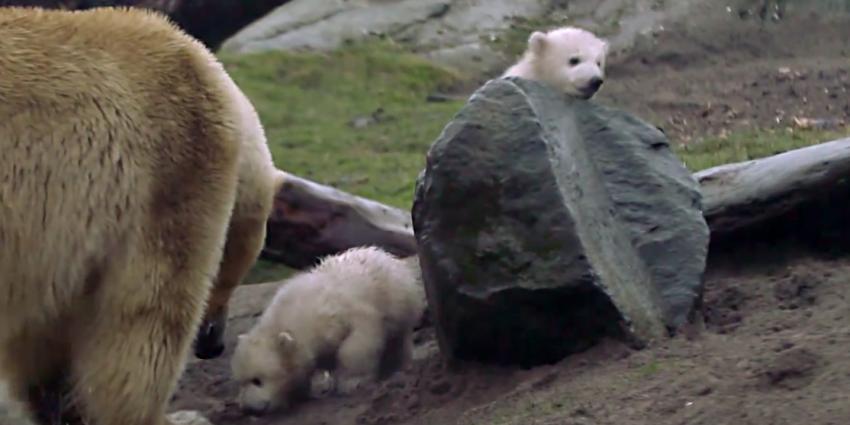 Plasfoto's gezocht van ijsbeertweeling