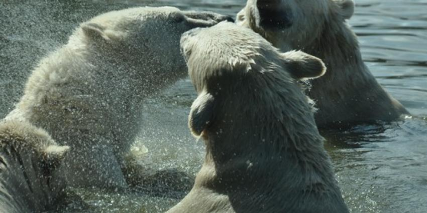 Beja, oudste ijsbeer van Nederland is overleden