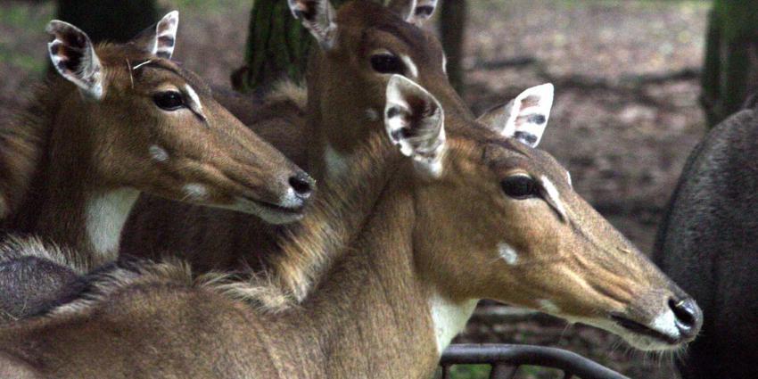 impala-beekse-bergen