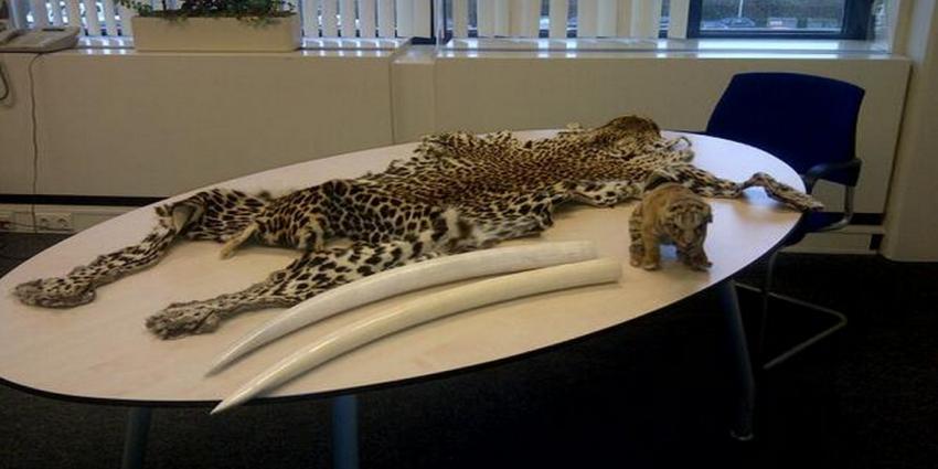 Foto van ivoor slagtanden opgezette leeuwenwelp   Politie