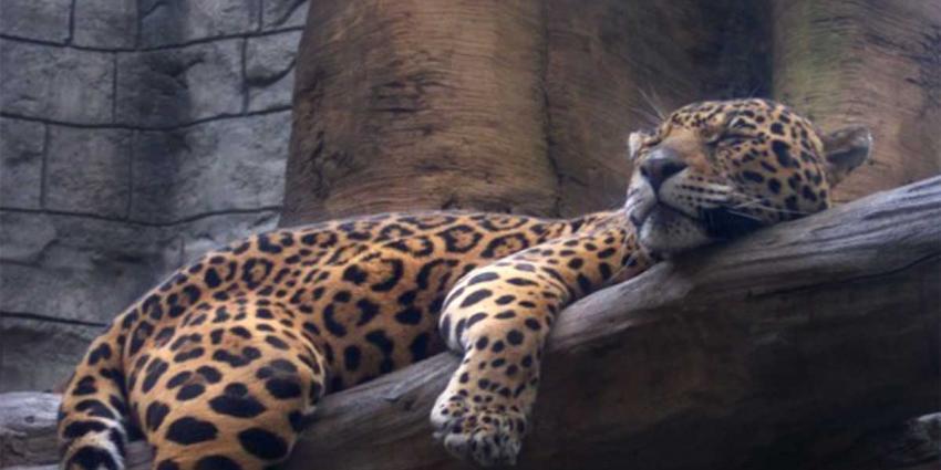 Artis opent dinsdag nieuw verblijf jaguars